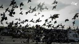 مجازات کفتر بازی و کبوتر پرانی در قانون چیست؟